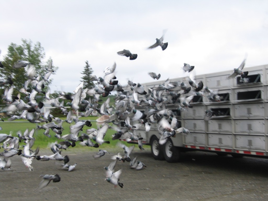 Pigeons being released from the NRRPA trailer in Englehart.